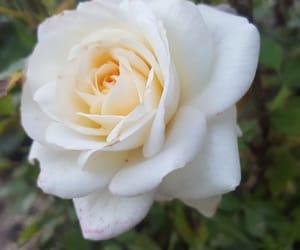 flower, rose, and whiterose image