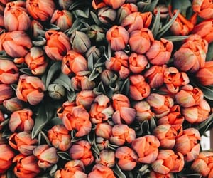 flowers, tulips, and wallpaper image