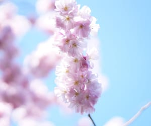 cherry blossoms, flowers, and pink image
