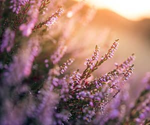 floral and lavender image