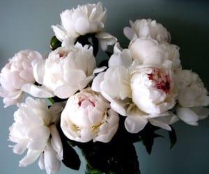 beautiful and white peonies image