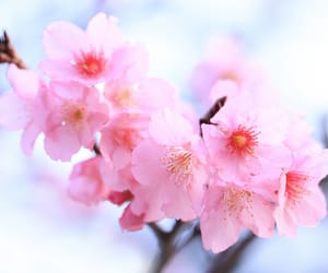 bokeh, cherry blossoms, and taiwan image