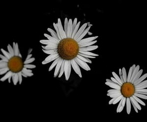 daisies, flowers, and daisy flowers image