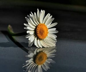 daisies and single flowers image