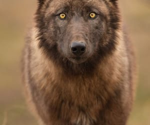 wolf, animal, and wildlife image