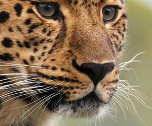animal, tiger, and doğa image