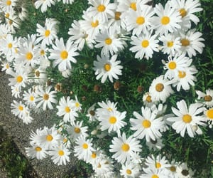 daisy, flowers, and green image