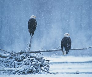 Snow falls on two perched bald eagles in Haines, Alaska