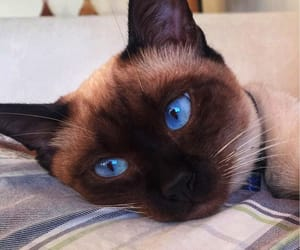 blueeyes, cat, and kitten image