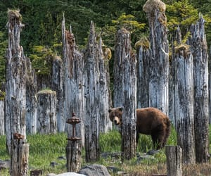 A brown bear among weathered old pilings in southeast Alaska.