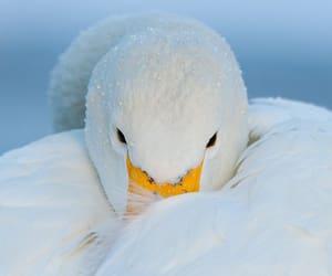 Hokkaido, winter, and Swan image