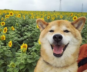 dog, flores, and sunflower image