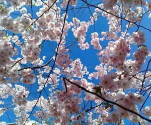 flowers, sky, and cherryblossom image