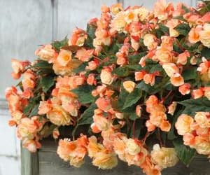 flower, begonia, and flowers image