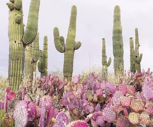 cacti, desert, and pink image