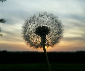 dandelion, ❤, and life image