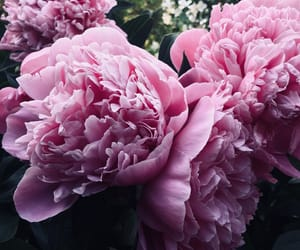 flowers, garden, and peony image