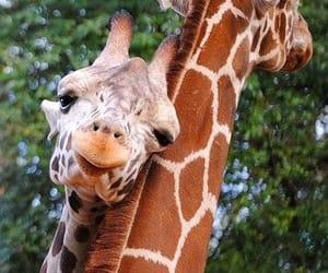 animal, giraffe, and animaux image