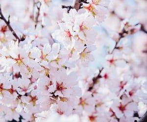 cherry blossom, light photo, and pastel image