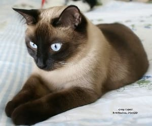 cat, breed, and kitten image