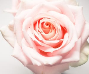nature, pink, and rose image