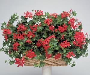 flower, flowers, and geranium image