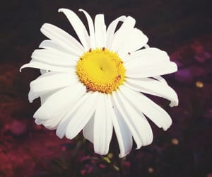 alternative, daisy, and flowers image