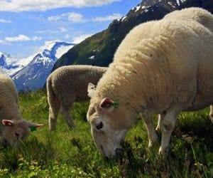 norway and sheep image