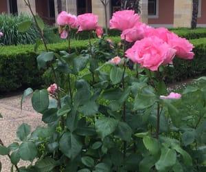 beau, beautiful, and rose image
