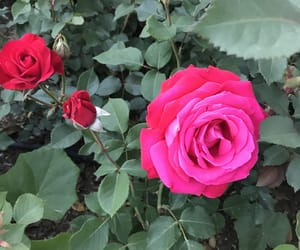 nature, rose, and love image