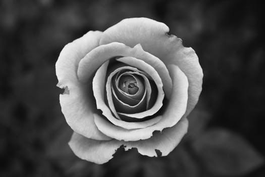 Black White Rose Shared By At Bpandrvaremyjam