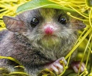 baby animals, pygmy possum, and cute animals image