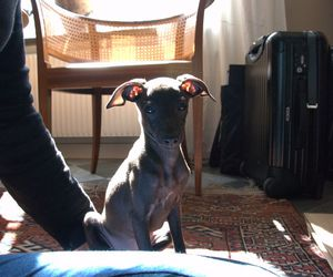 italian greyhound and iza image
