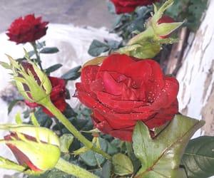 red, rose, and lovesummer image