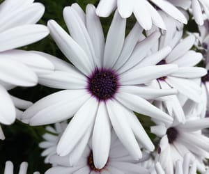 daisies, flowers, and white image
