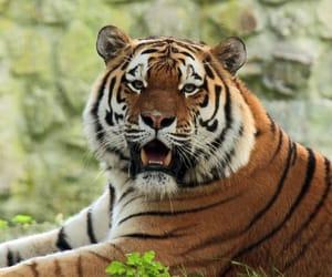 tiger, tigre, and amurtiger image