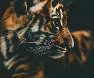 tiger and photography image