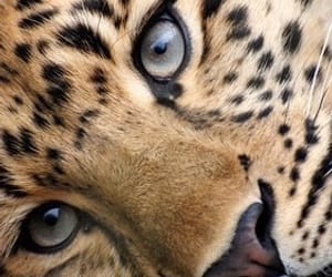 aesthetic, cheetah, and animal image