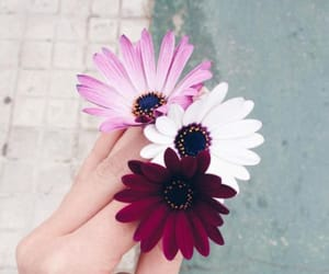 daisy, flower, and pink image