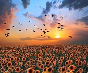 sunflower, birds, and sky image