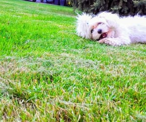 cutie, little, and white dog image