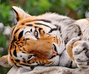 big cat and tiger image