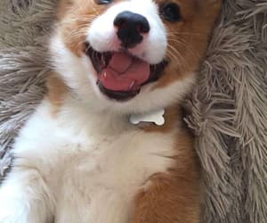 corgi, dog, and happiness image