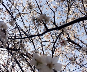 cherry, cherry blossom, and japan image