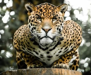 Animales, leopardo, and belleza image