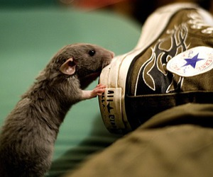 converse, photo, and rat image
