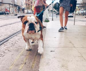 bulldogs, englishbulldog, and boomerandolly image