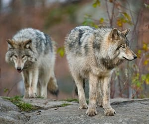 wolves image