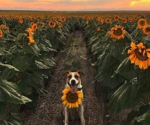 dog, puppy, and sunflower image