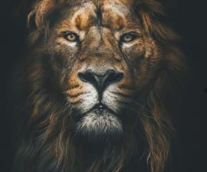 animals, lion, and wild image